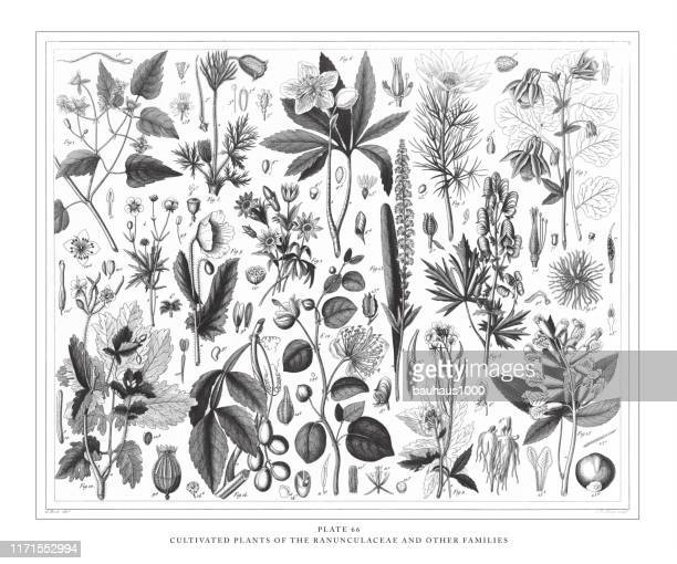 cultivated plants of the ranunculaceae and other families engraving antique illustration, published 1851 - ranunculus stock illustrations, clip art, cartoons, & icons