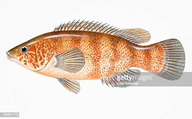 Cunner (Tautogolabrus adspersus), saltwater fish