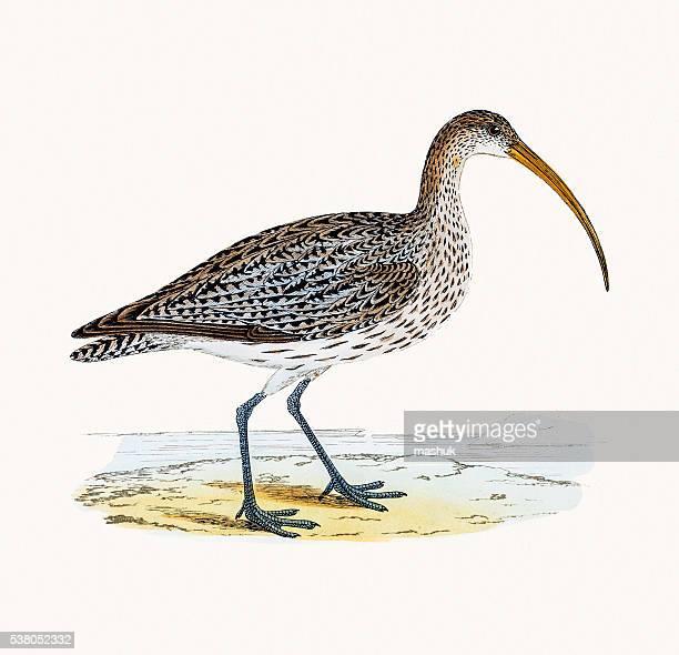 Curlew wader shoreline bird