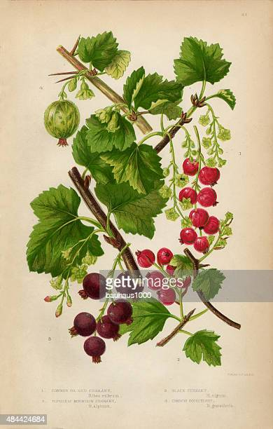 Currant, Red Currant, Black Currant and Gooseberry, Victorian Botanical Illustration