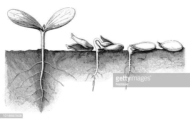 カスタードひょうたん、ペポカボチャ種子開発 - シード点のイラスト素材/クリップアート素材/マンガ素材/アイコン素材