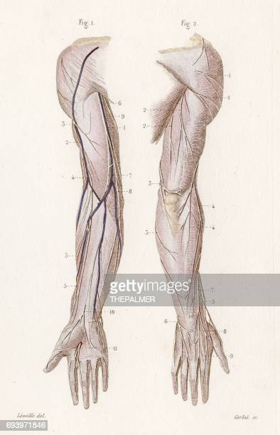 cutaneous nervous system anatomy engraving 1886 - cardiopulmonary system stock illustrations, clip art, cartoons, & icons