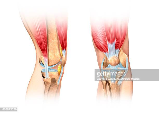 cutaway illustration of human knee showing detailed side and front views. - human knee stock illustrations, clip art, cartoons, & icons