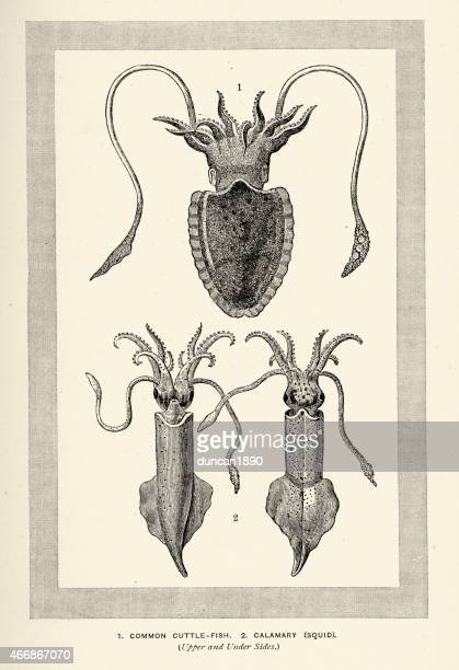 Cuttle fish and Squid