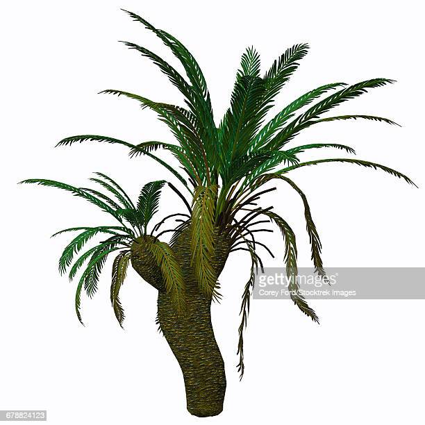 Cycad plant on white background.