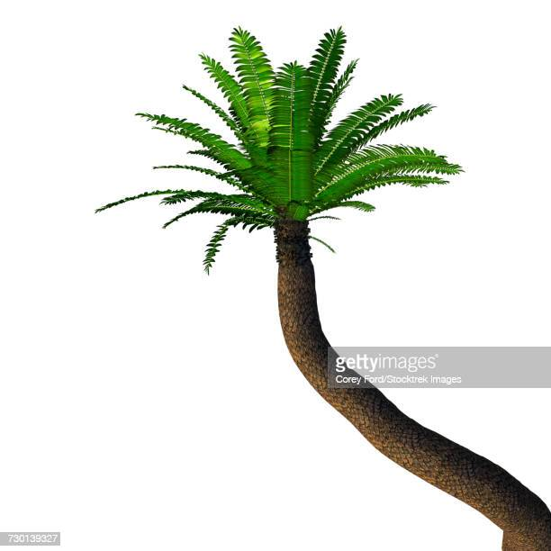 Cycad tree, white background.