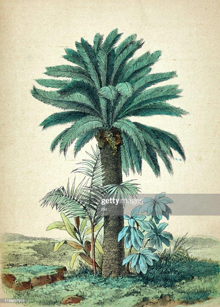 Cycas revoluta, palm tree : stock illustration