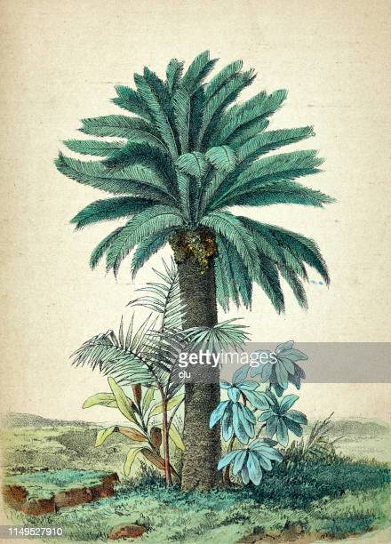 cycas revoluta, palm tree - archival stock illustrations