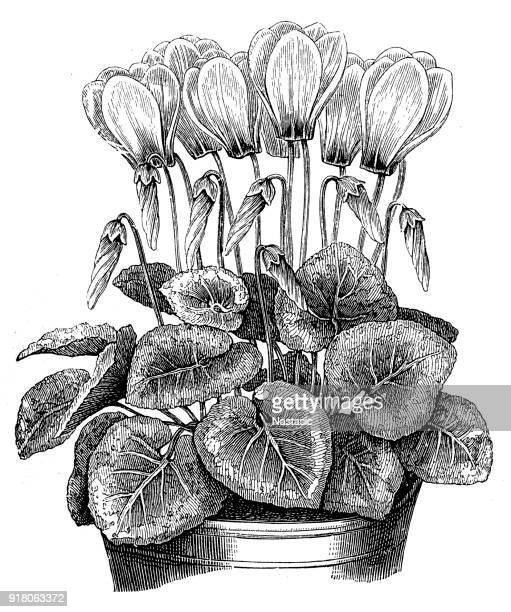 cyclamen europaeum (european cyclamen) - iranian culture stock illustrations, clip art, cartoons, & icons