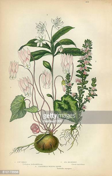 cyclamen, milkwort, chickweed, wintergreen, victorian botanical illustration - 1840 1849 stock illustrations