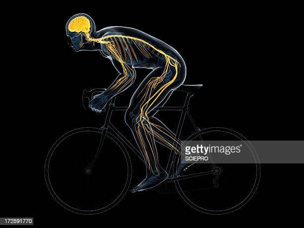ilustrações de stock, clip art, desenhos animados e ícones de cyclist, artwork - sistema nervoso central