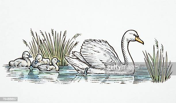 Cygnus olor, Mute Swan and three cygnets swimming on lake, side view