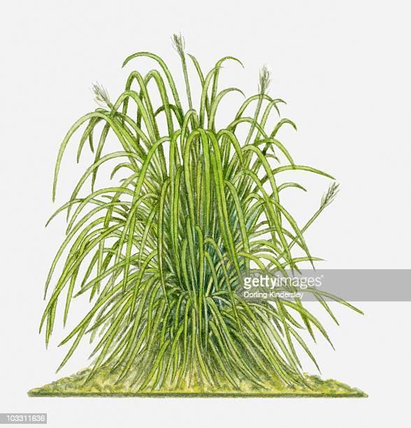 cymbopogon citratus (lemon grass) - lemon grass stock illustrations