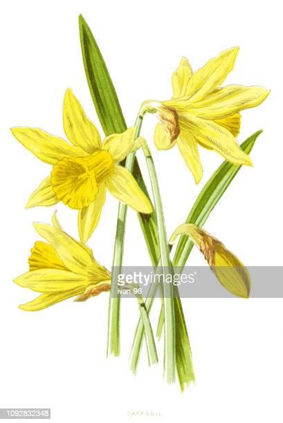daffodil, daffadowndilly, narcissus, jonquil - daffodil stock illustrations, clip art, cartoons, & icons
