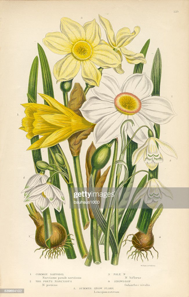 Daffodil, Narcissus, Jonquil, Snowdrop, Buttercup Victorian Botanical Illustration : stock illustration
