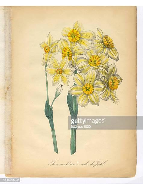 daffodil, narcissus, victorian botanical illustration - daffodil stock illustrations, clip art, cartoons, & icons