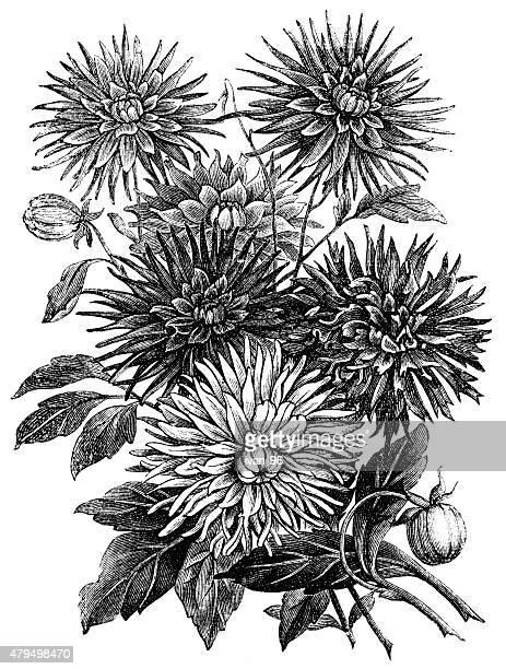 dahlias - single flower stock illustrations