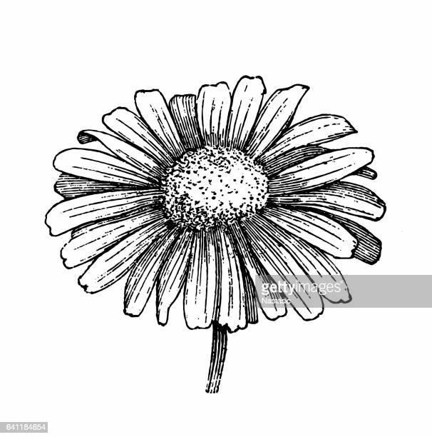 ilustraciones, imágenes clip art, dibujos animados e iconos de stock de flor de margarita  - planta de manzanilla