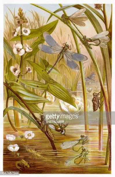 damselfly  chromolithograph 1884 - odonata stock illustrations, clip art, cartoons, & icons