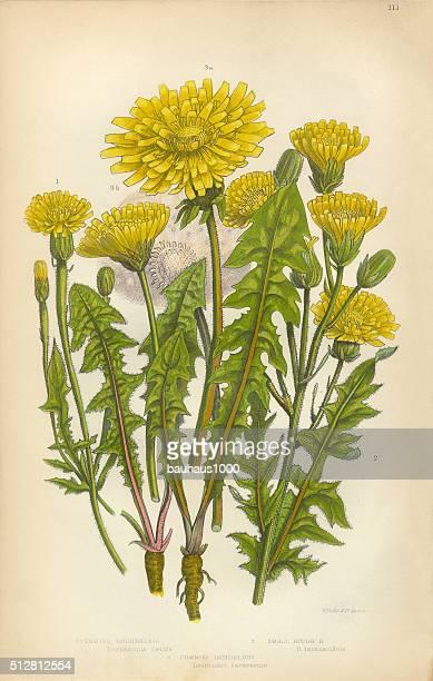 illustrations, cliparts, dessins animés et icônes de pissenlit, crepis, capillaris, borkshausia, victorien botanique illustration - fleur de pissenlit