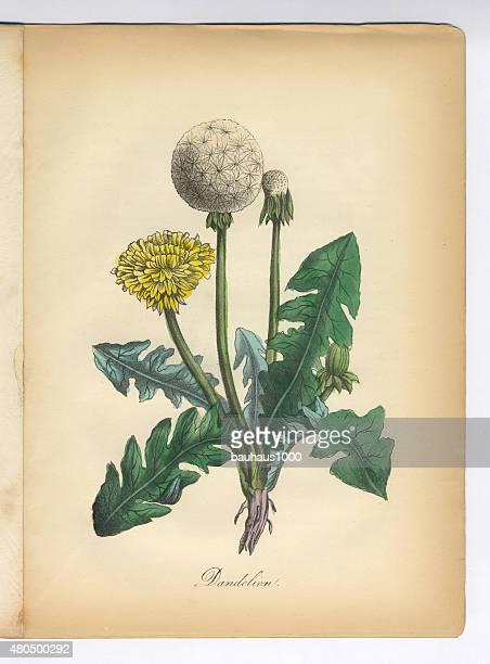 Dandelion Victorian Botanical Illustration