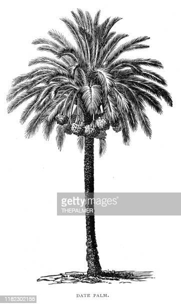 ilustrações, clipart, desenhos animados e ícones de data palmeira gravura 1899 - gravura