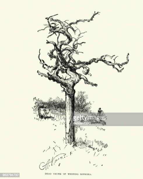 dead trunk of a weeping sophora tree, 19th century - twisted stock illustrations, clip art, cartoons, & icons