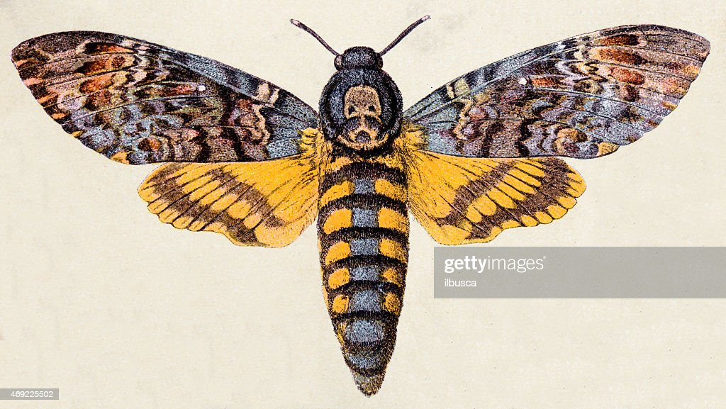 Death's-head Hawk moth (Acherontia atropos), insect animals antique illustration : stock illustration