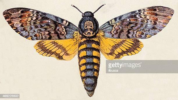 illustrations, cliparts, dessins animés et icônes de mort de la tête papillon faucon (acherontia atropos), insecte animaux antiquités illustration - insecte