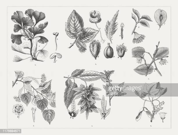 deciduous trees, wood engravings, published in 1894 - maple tree stock illustrations