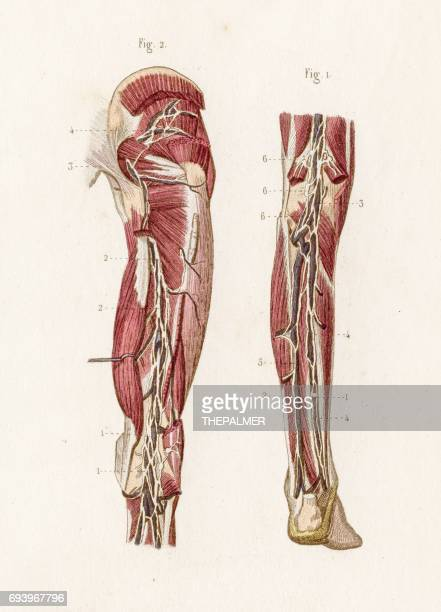 Tibial Nerve Stock Illustrations And Cartoons | Getty Images