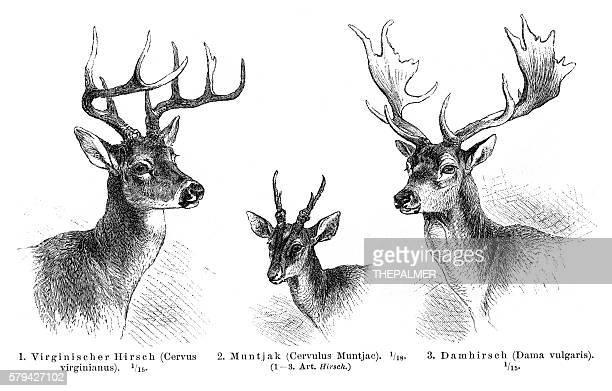 Deer antlers engraving 1896