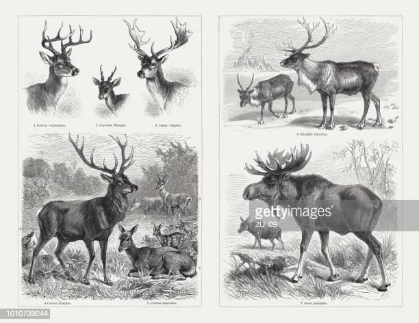 deer (cervidae), wood engravings, published in 1897 - elk stock illustrations