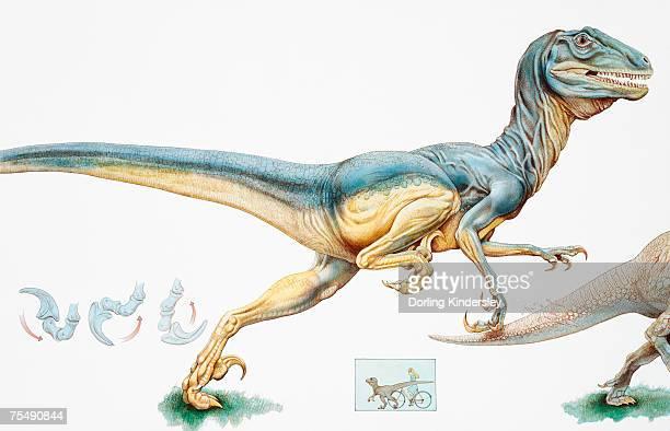 deinonychus antirrhopus, carnivorous dromaeosaurid dinosaur, early cretaceous period - dromaeosauridae stock illustrations