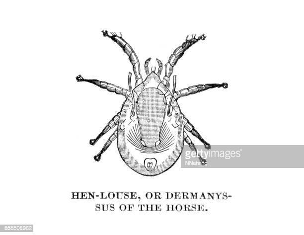 Dermanyssus species, hen louse