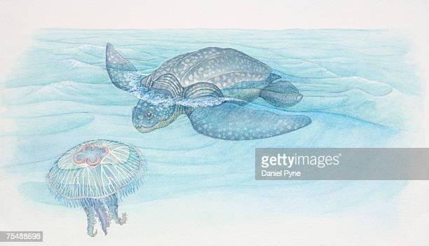 Dermochelys coriacea, Leatherback Turtle stalking a Jellyfish (Scyphozoa) swimming near the waters surface, underwater cross-section view