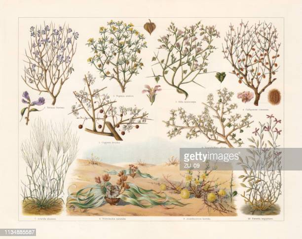 desert plants, chromolithograph, published in 1897 - lithograph stock illustrations