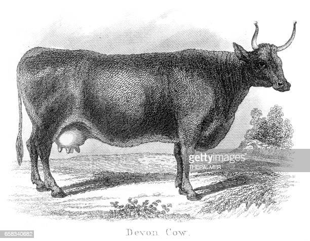 Devon cow engraving 1873