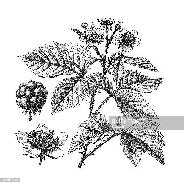 dewberry - raspberry stock illustrations, clip art, cartoons, & icons
