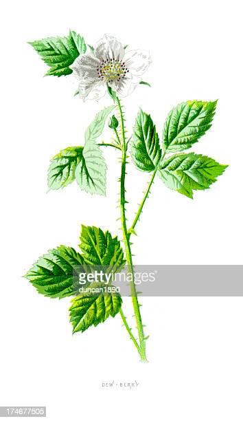 dewberry - rubus eubatus - green tea stock illustrations, clip art, cartoons, & icons