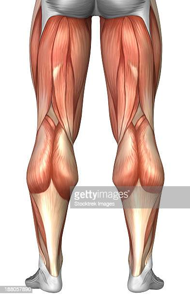 Calf human leg stock illustrations and cartoons getty images diagram illustrating muscle groups on back of human legs ccuart Gallery