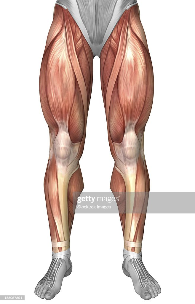diagram illustrating muscle groups on front of human legs illustration id188057891?s=612x612 ligament stock illustrations and cartoons getty images