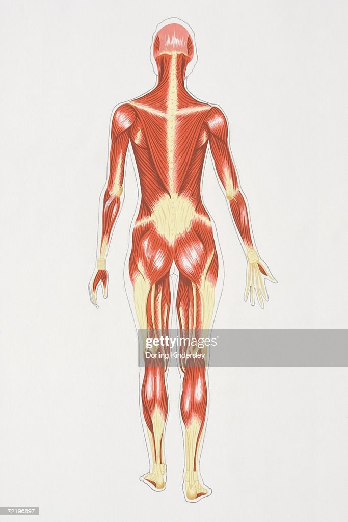 Diagram Illustrating Muscular Structure Of Female Body Rear View