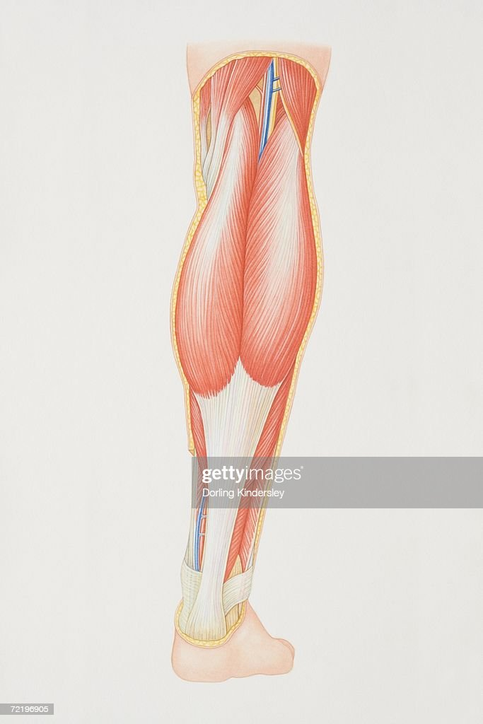 Diagram Of Back Of Lower Leg Illustrating Muscle Groups Nerves And