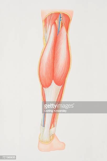 Diagram of back of lower leg illustrating muscle groups, nerves and veins.