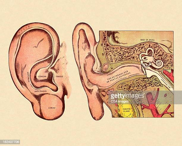 diagram of ear - ear stock illustrations
