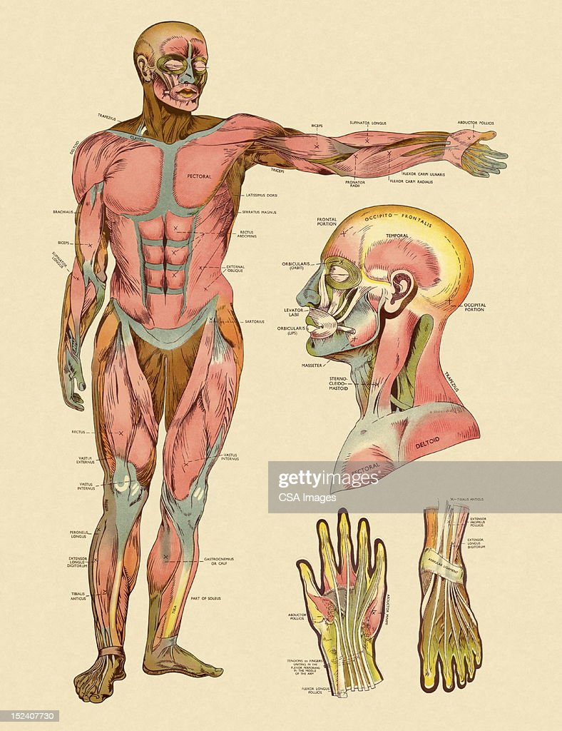 Diagram of Front Muscles of Human Body : stock illustration