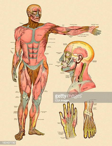 diagram of front muscles of human body - labeling stock illustrations, clip art, cartoons, & icons