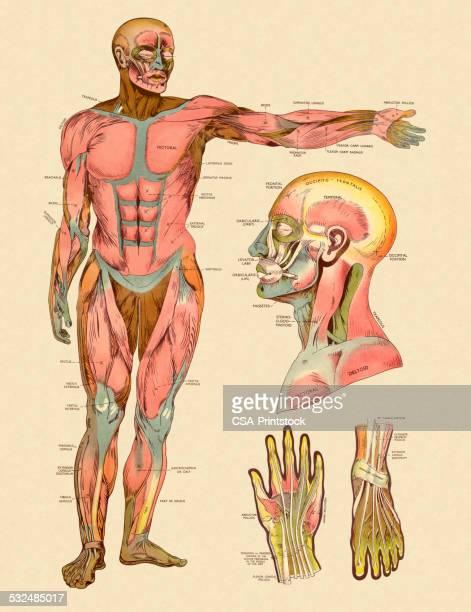 ilustraciones, imágenes clip art, dibujos animados e iconos de stock de diagrama de los músculos frontal del cuerpo humano - músculo humano