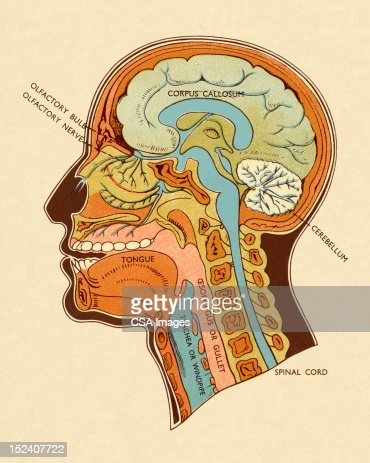Diagram of head and neck stock illustration getty images ccuart Images